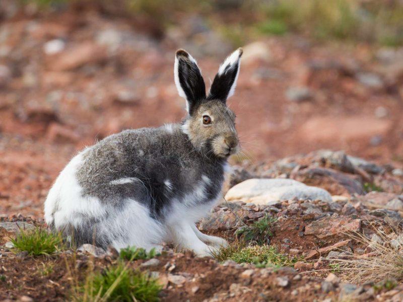 arctic hare istk