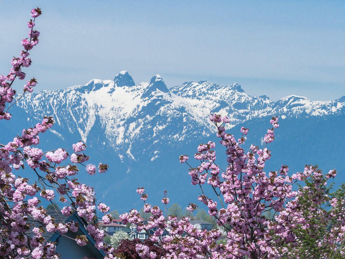 canada british columbia cherry blossom vancouver istk