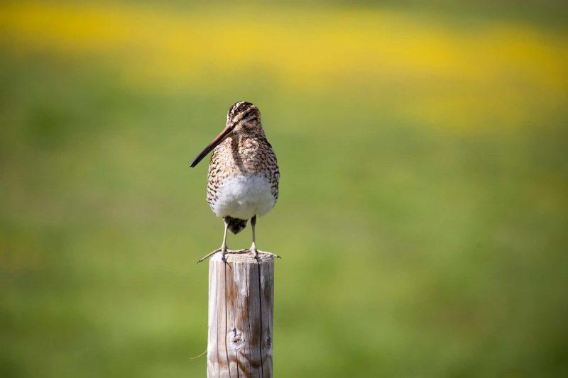 iceland birdlife common snipe wg