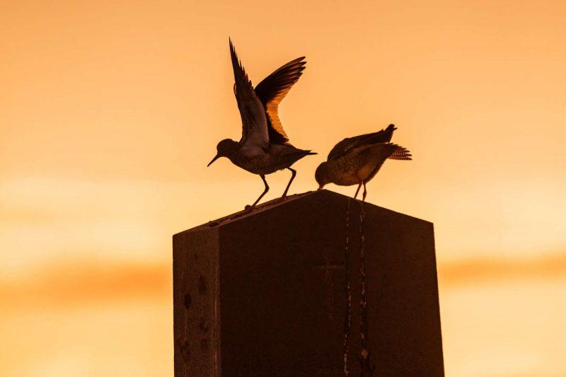 iceland breidafjordur birds silhouette sunset rth