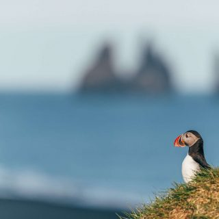 iceland puffin on south coast gt