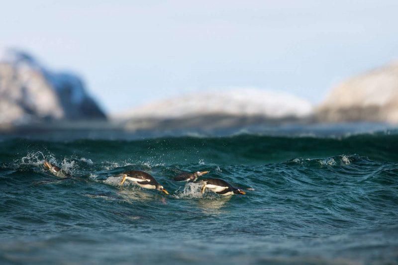 antarctica gentoo penguins swimming astk